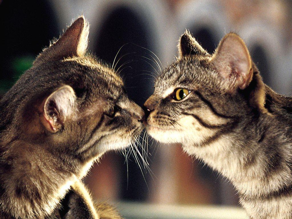 Любов двоє котів картинки і шпалери