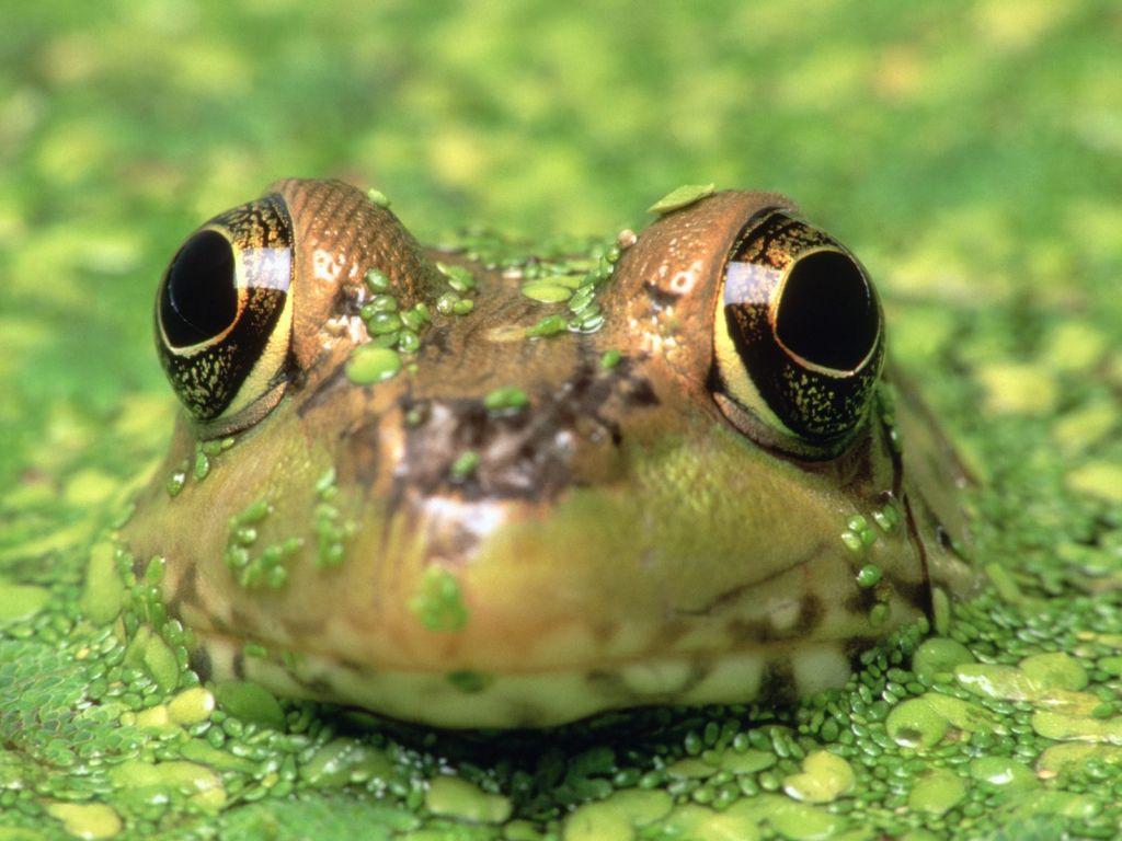 лягушки большие фото