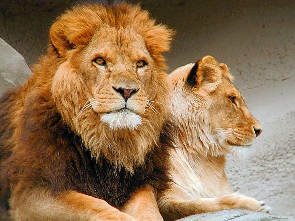 фото бесплатно скачать о львах