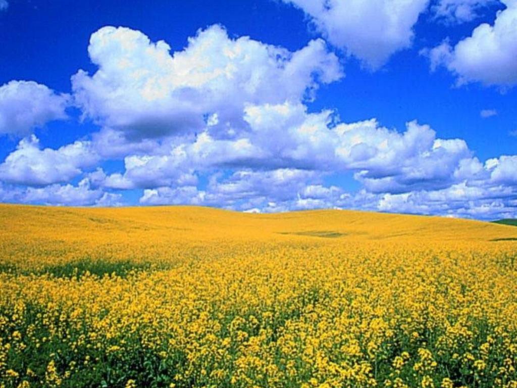 Картинка жовте поле новітні шпалери