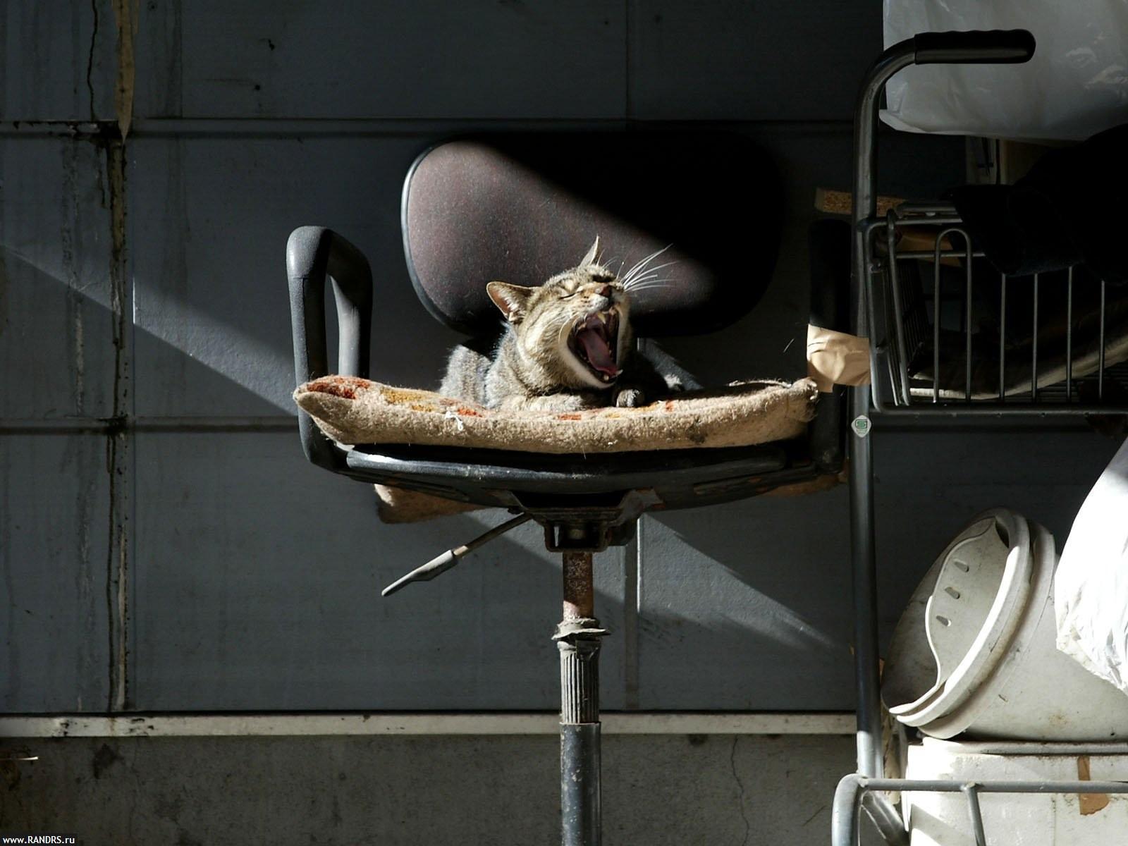 Красивые фото с орущими котами, поющими кошками и смеющимися котятами