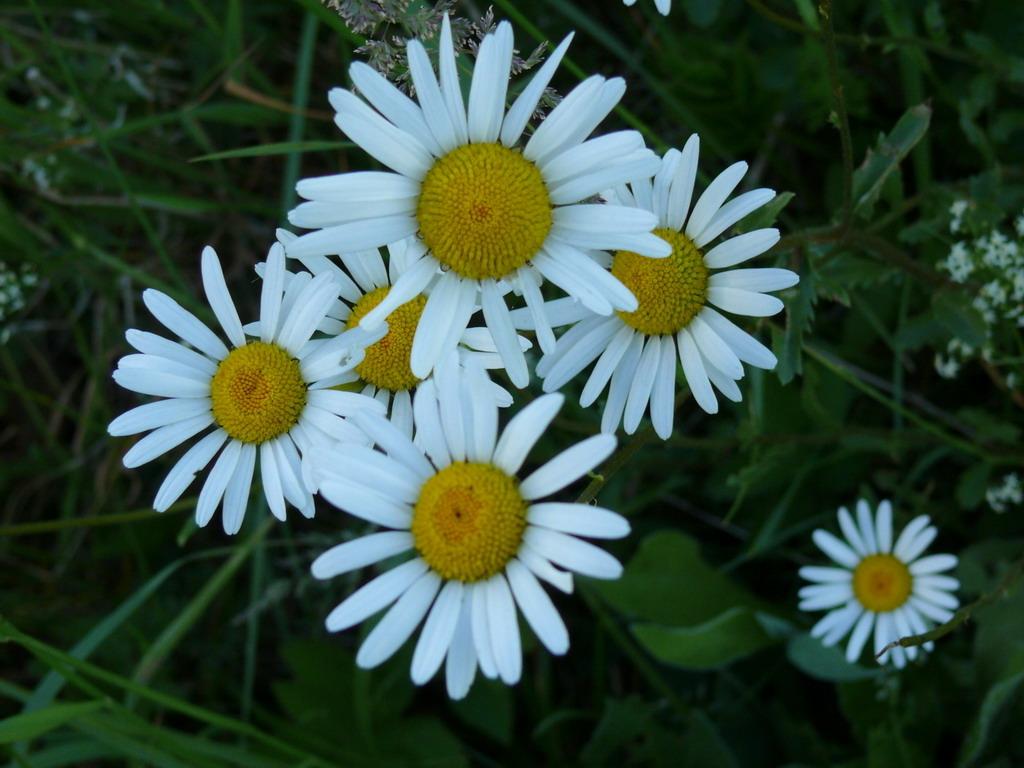 Картинка білі ромашки в саду красиві