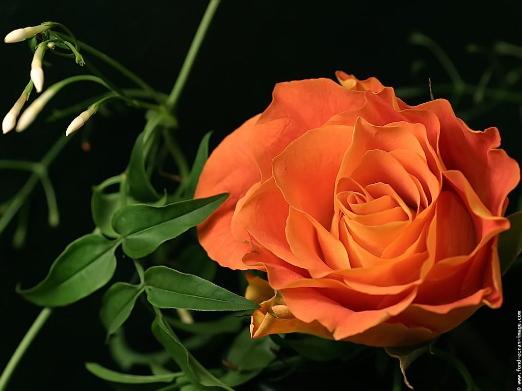 розы скачать FullHD Фото Картинки Обои 1920x1080 17074