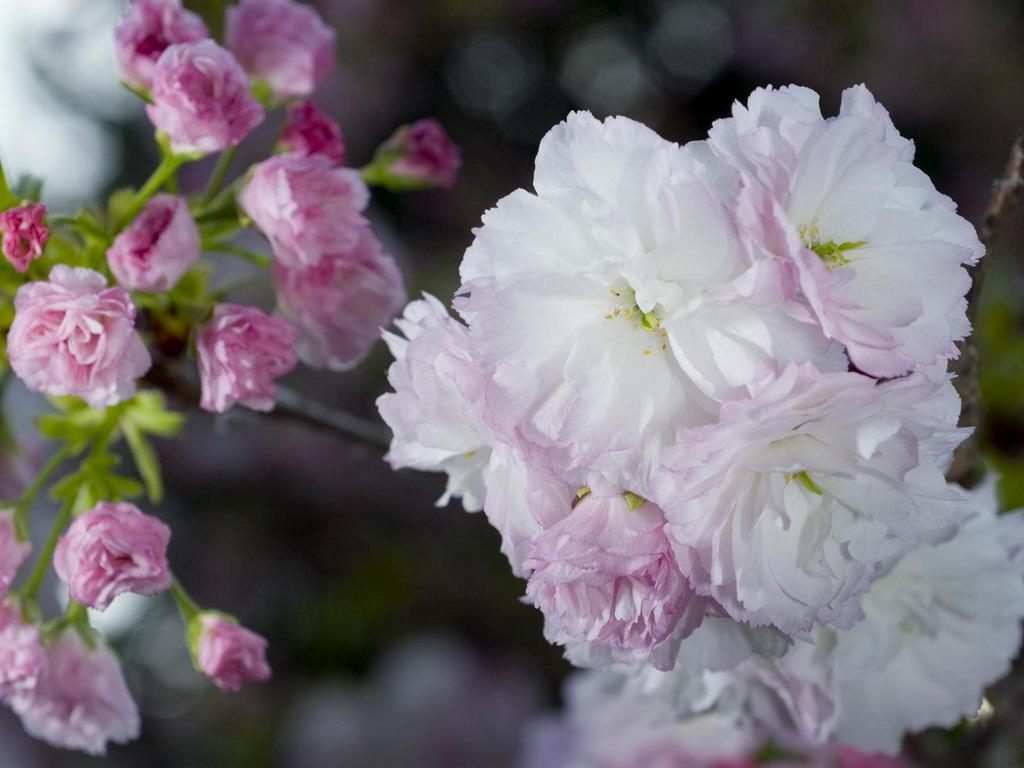 Плетистые розы в горшках 2