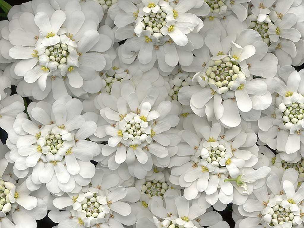 Картинки белый цветок 7