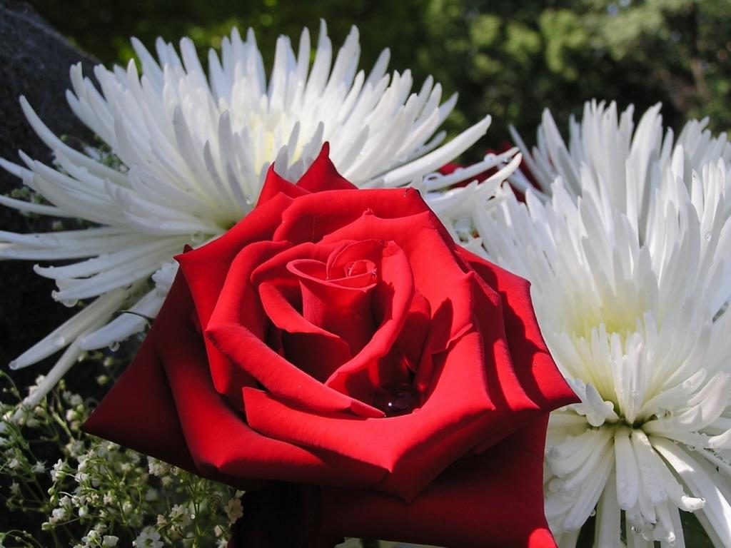 Картинка червона троянда серед двох