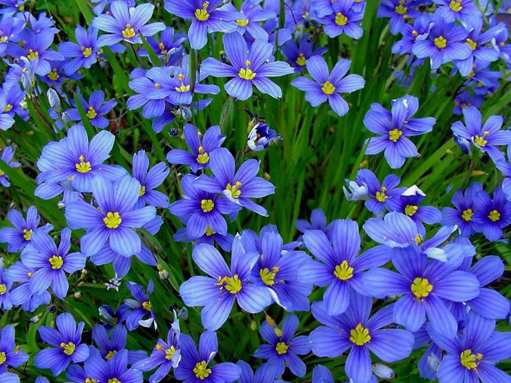 Картинки синих цветов 3