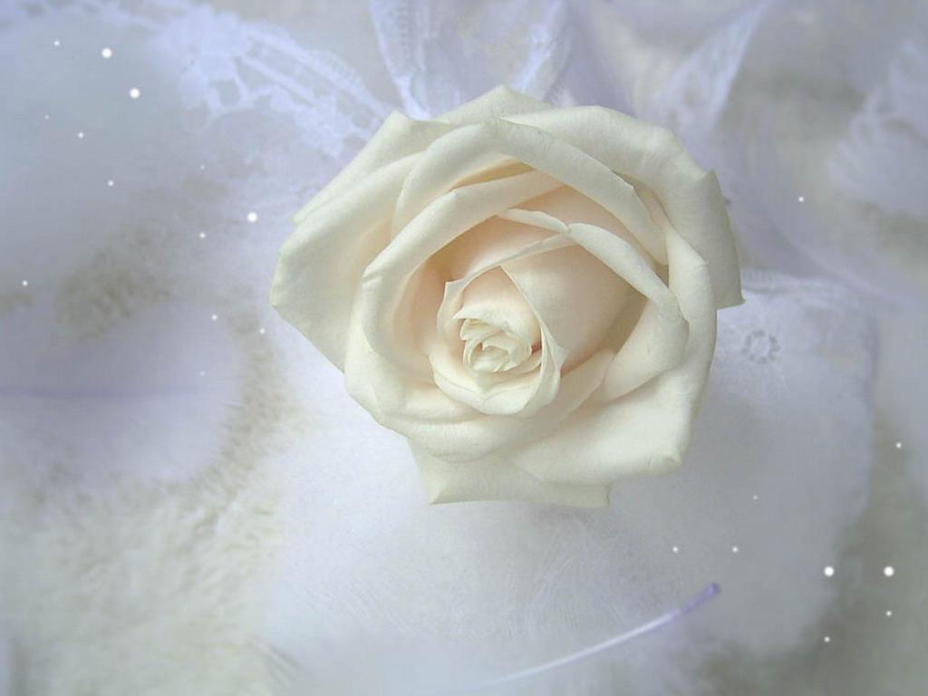 Tulpe popugaychivy kostenlos bilder auf dem pc und tapeten blumen