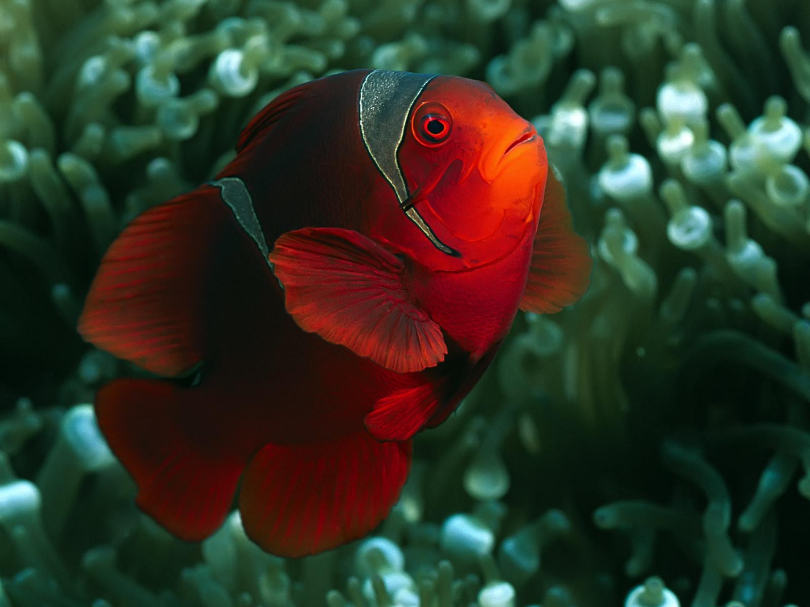 Картинка підводний світ риба клоун