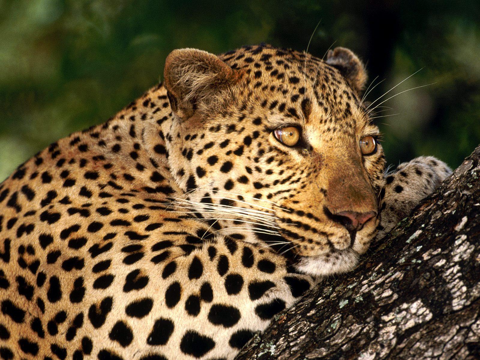 Животные гепард в дикой природе