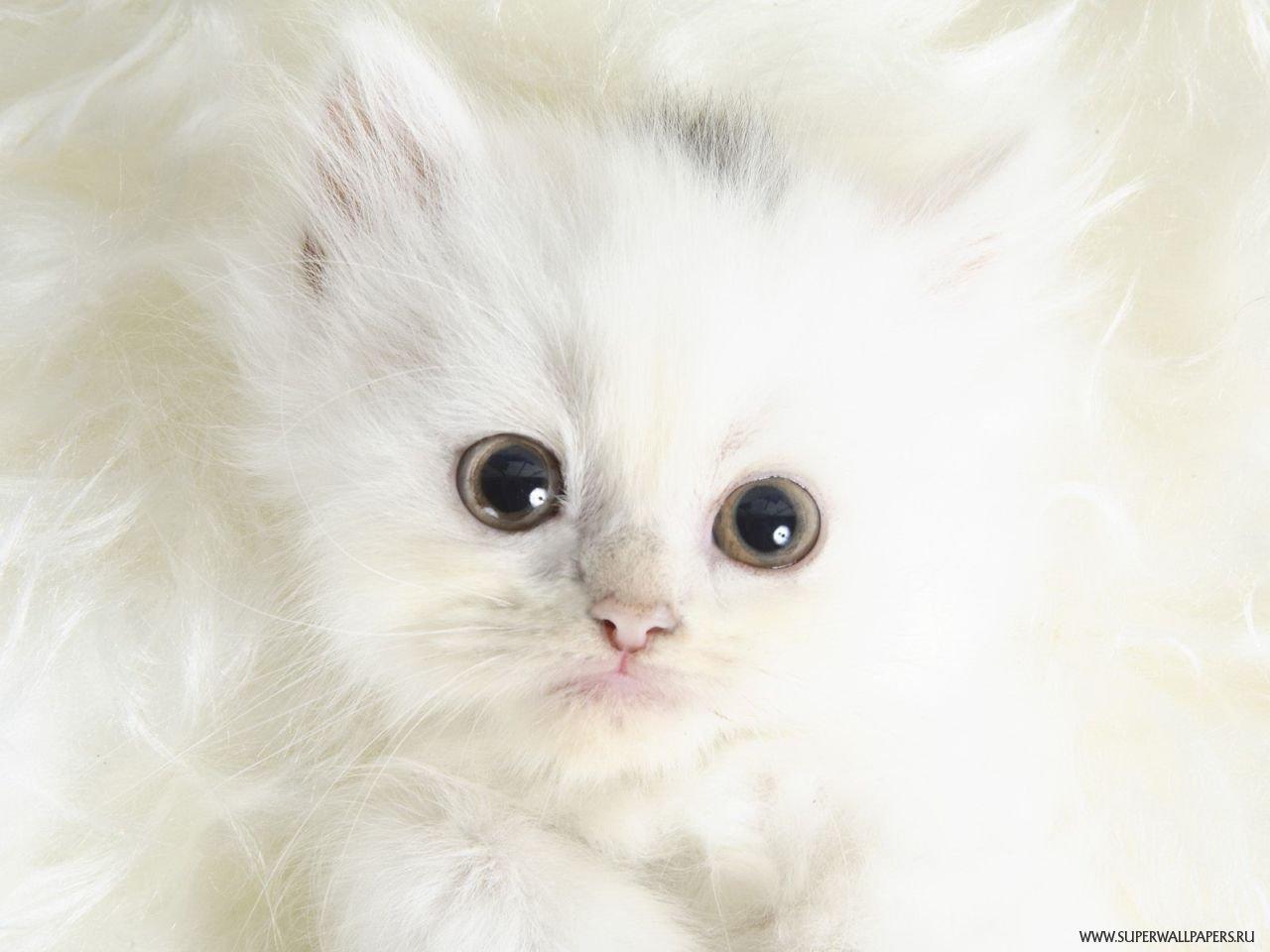 Картинка білий котик новітні шпалери