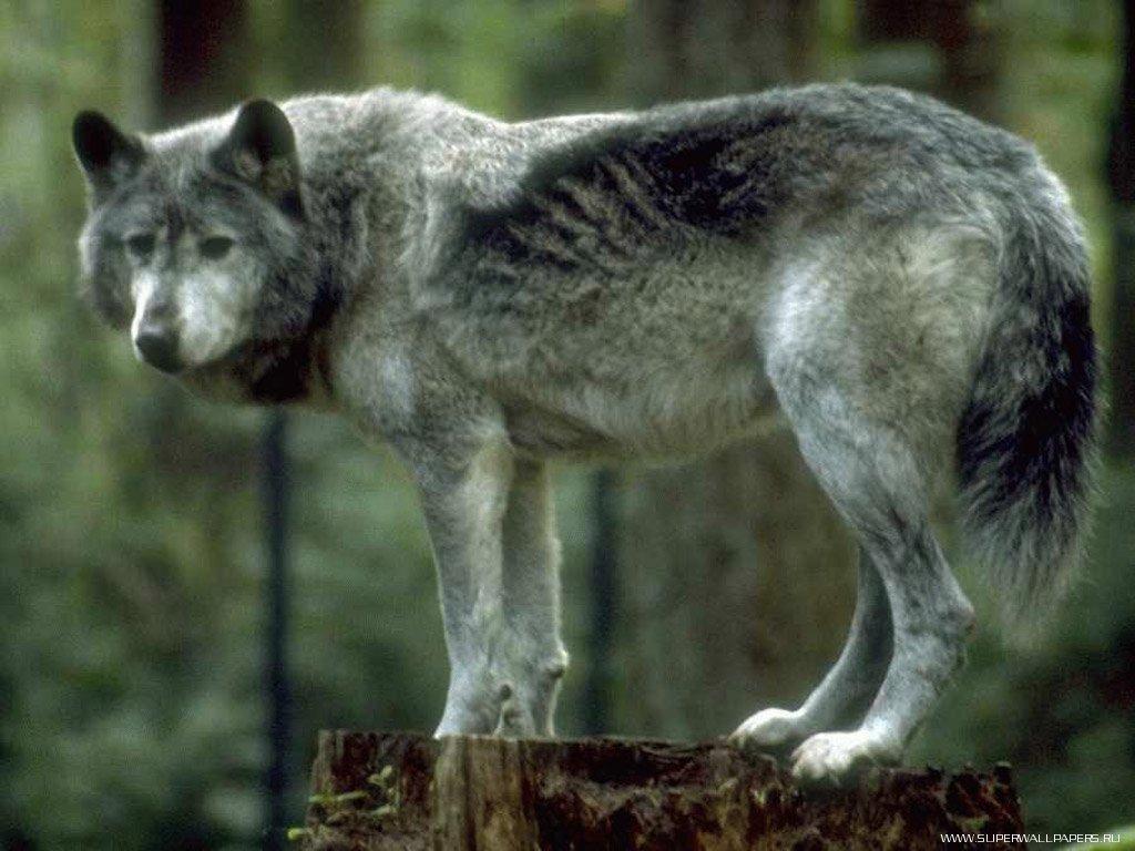 Волк картинки и фотки на рабочий стол