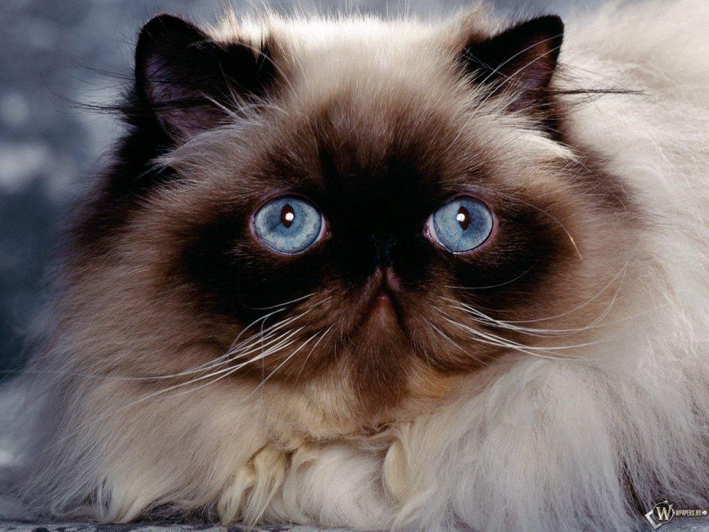 Обои 1024x768 грустный взгляд кошки
