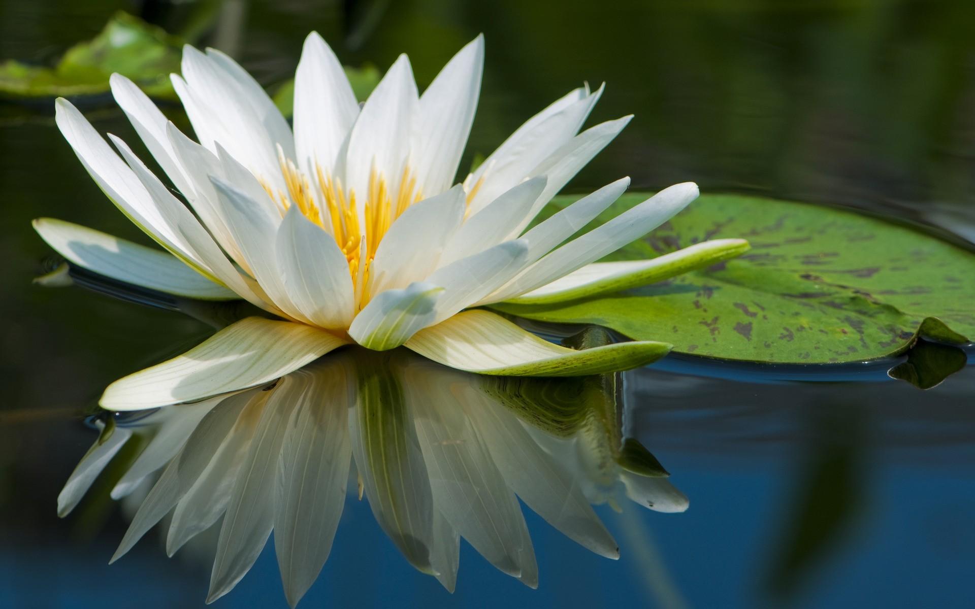 Лилия лотос фото цветов