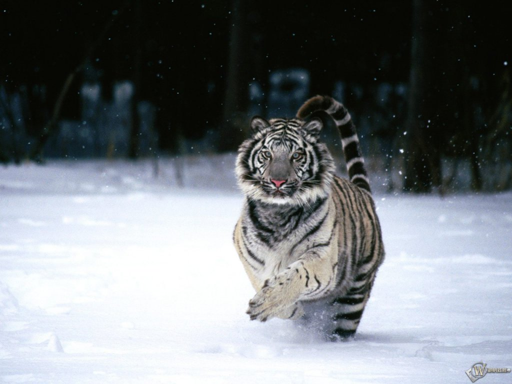 White tiger images hd
