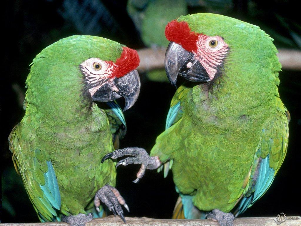 І шпалери синій папуга картинки і