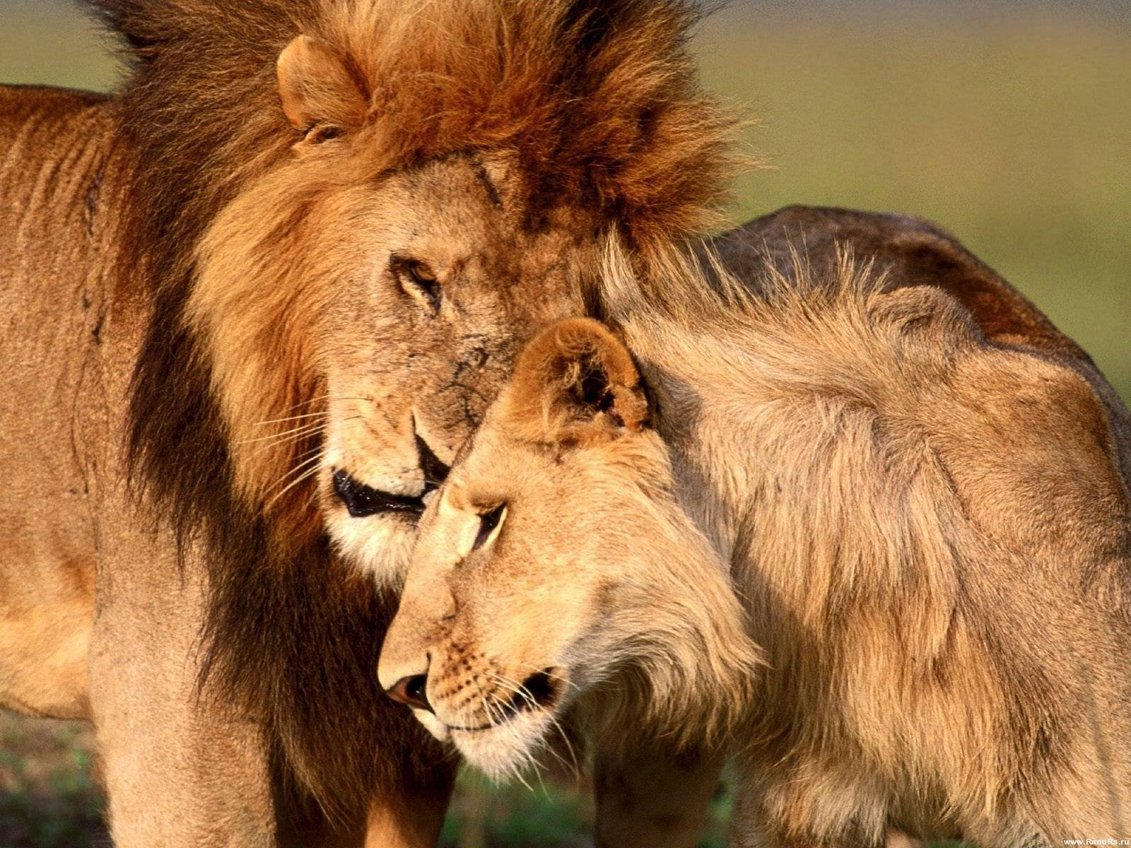 должен быть картинки с львами и львицами занимается студиями