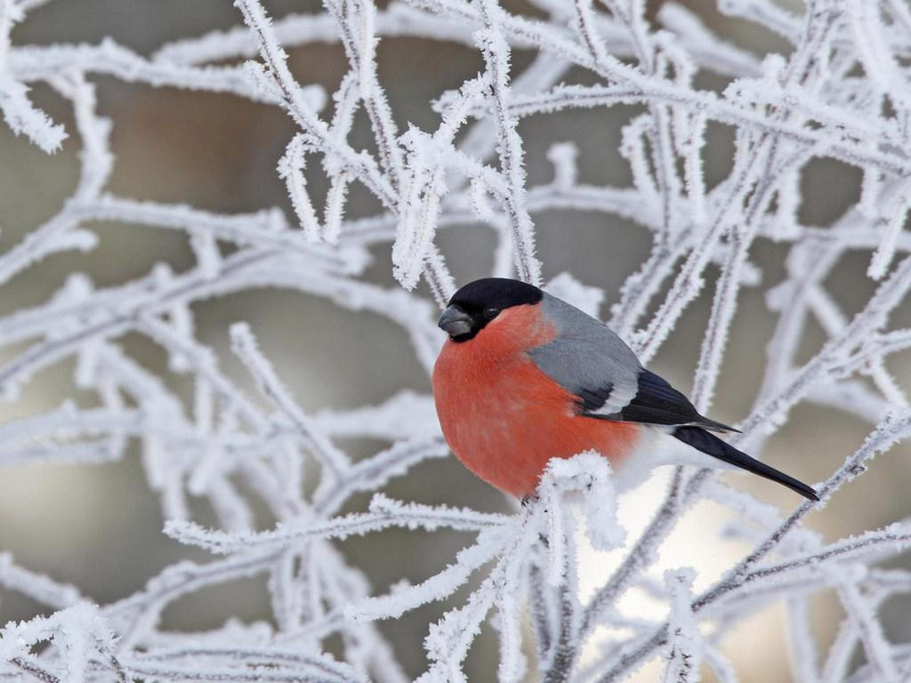 Картинка снігур новітні шпалери на