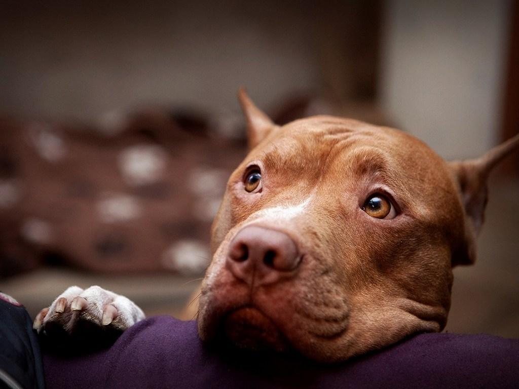 Собака питбуль фото 7