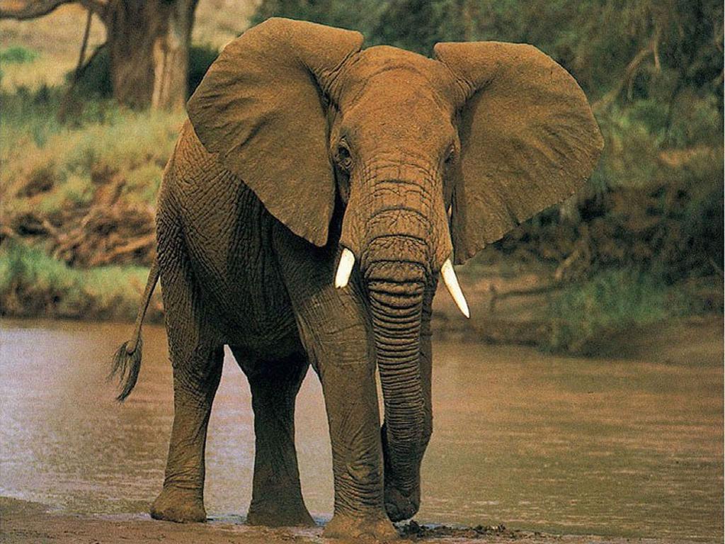 Слон прогуливается по речке.