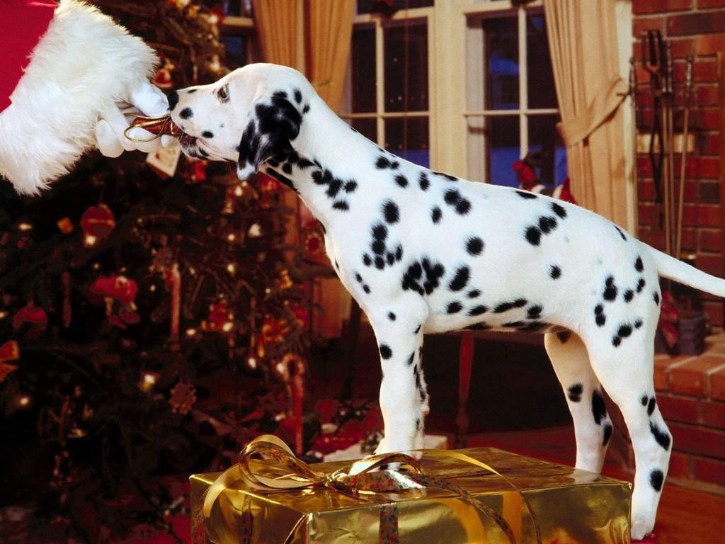 Собака породы далматин - это динамичная пятнистая собака нормальных размеров