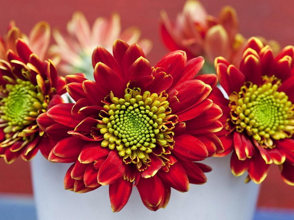 Хризантемы фотографии на рабочий стол