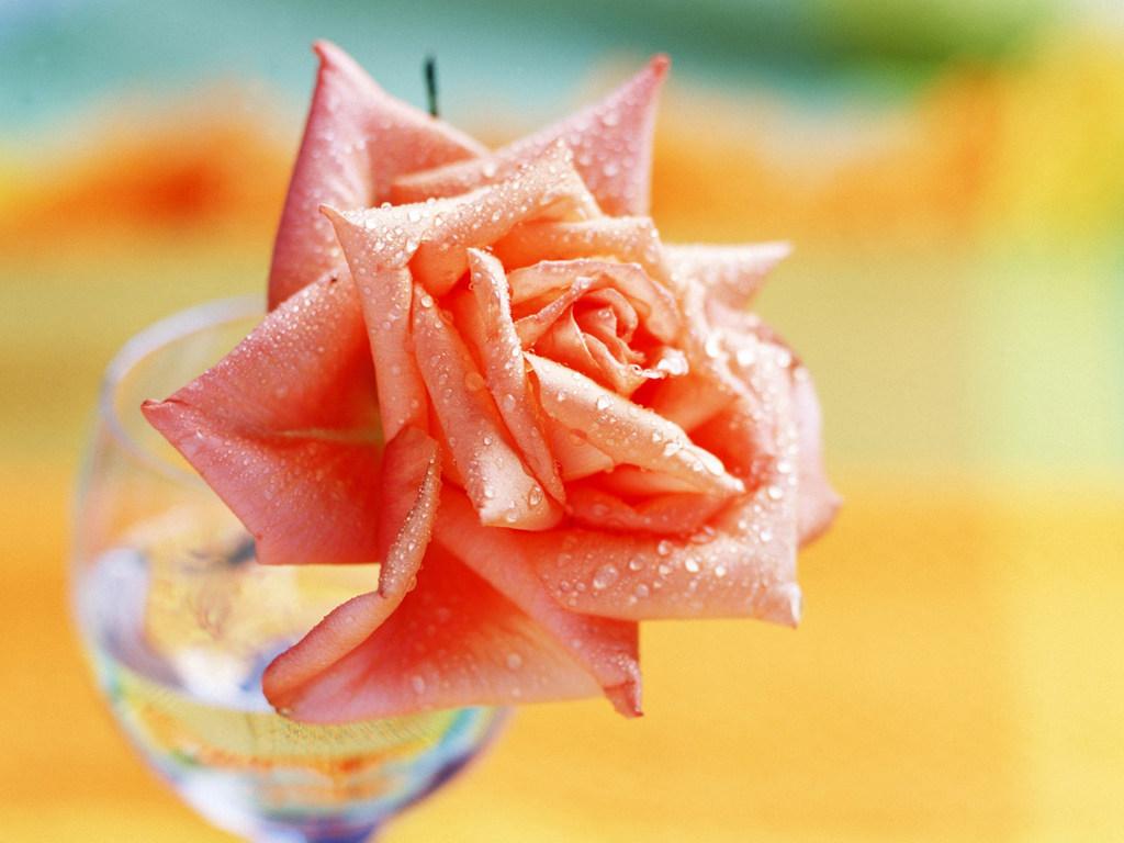 скачать роза чайная