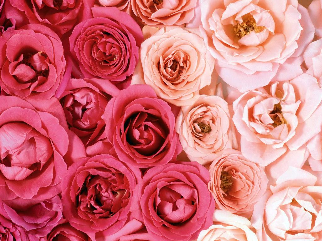 Бесплатно розы картинки 4