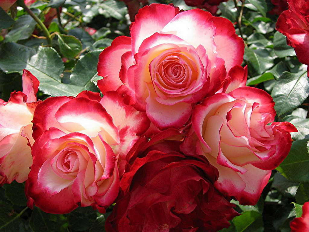 Роза плетистая пол скарлет 4