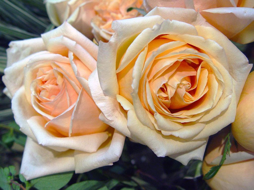 Роза плетистая барок 5