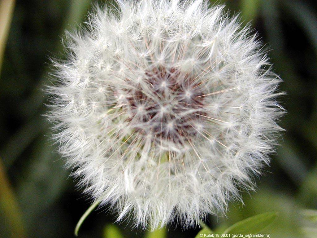 Картинки цветов одуванчик 8