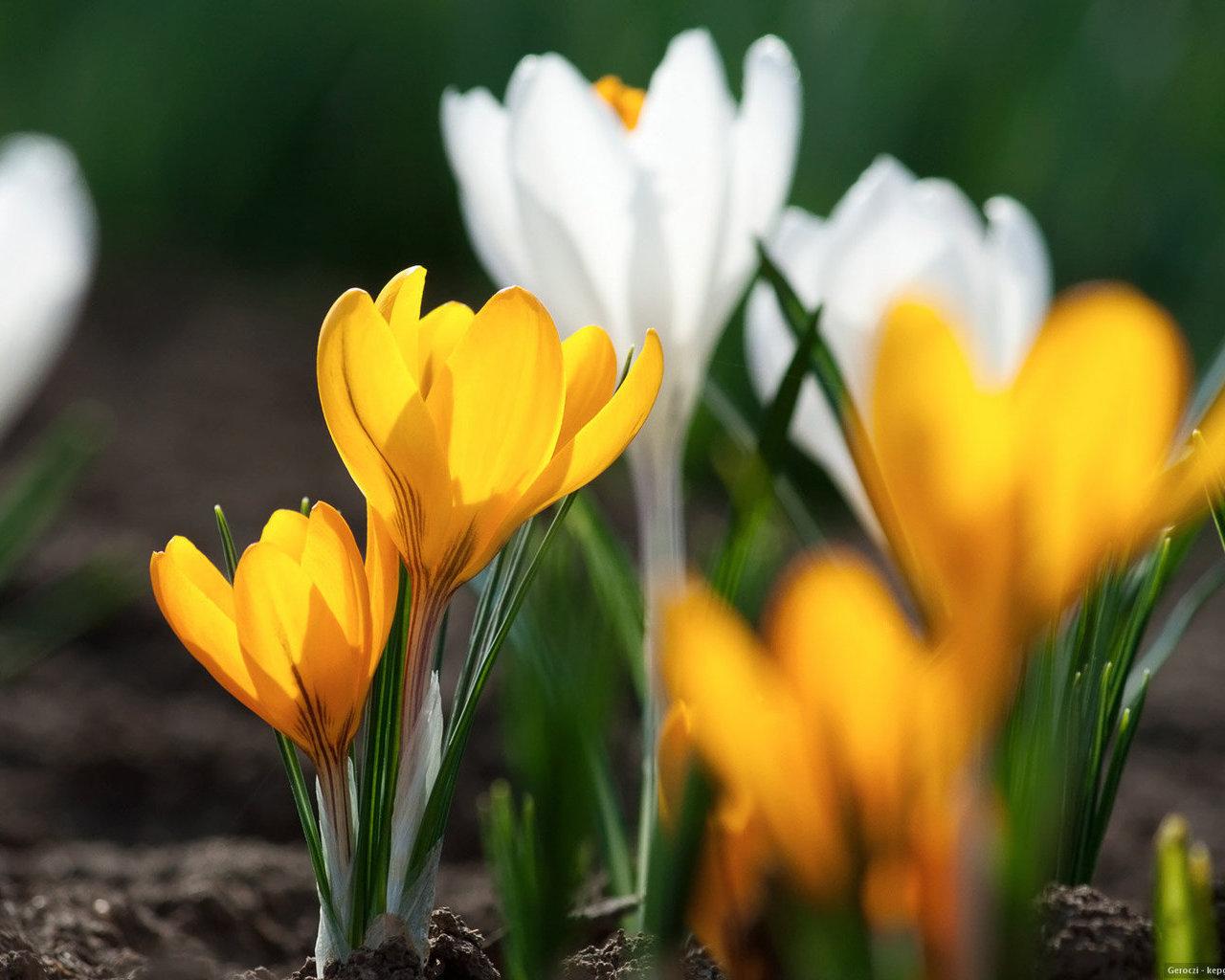 Весна крокусы обои для рабочего стола