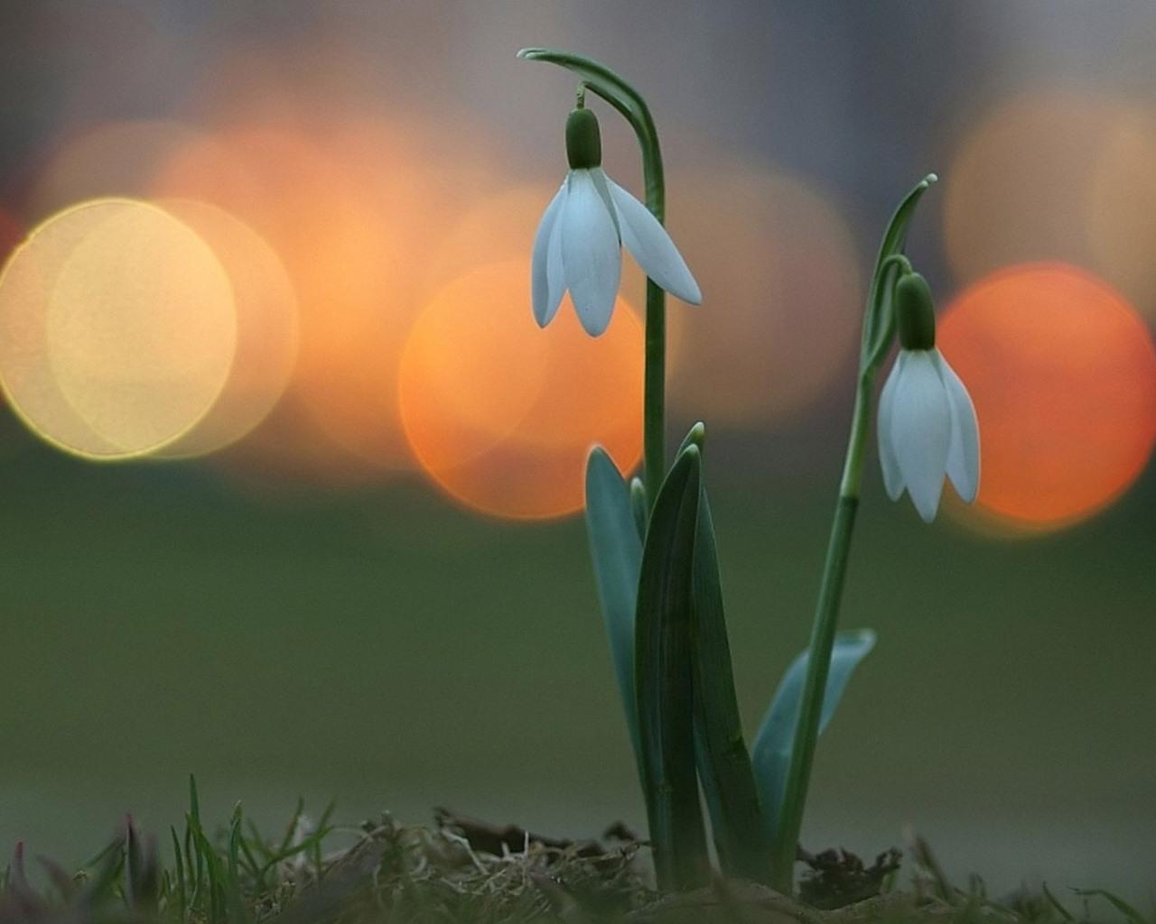 Картинка квіти проліски безкоштовні