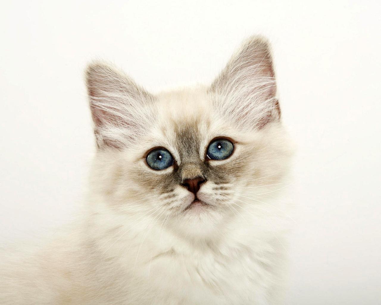 бирманская кошка обои на рабочий стол № 539368 бесплатно
