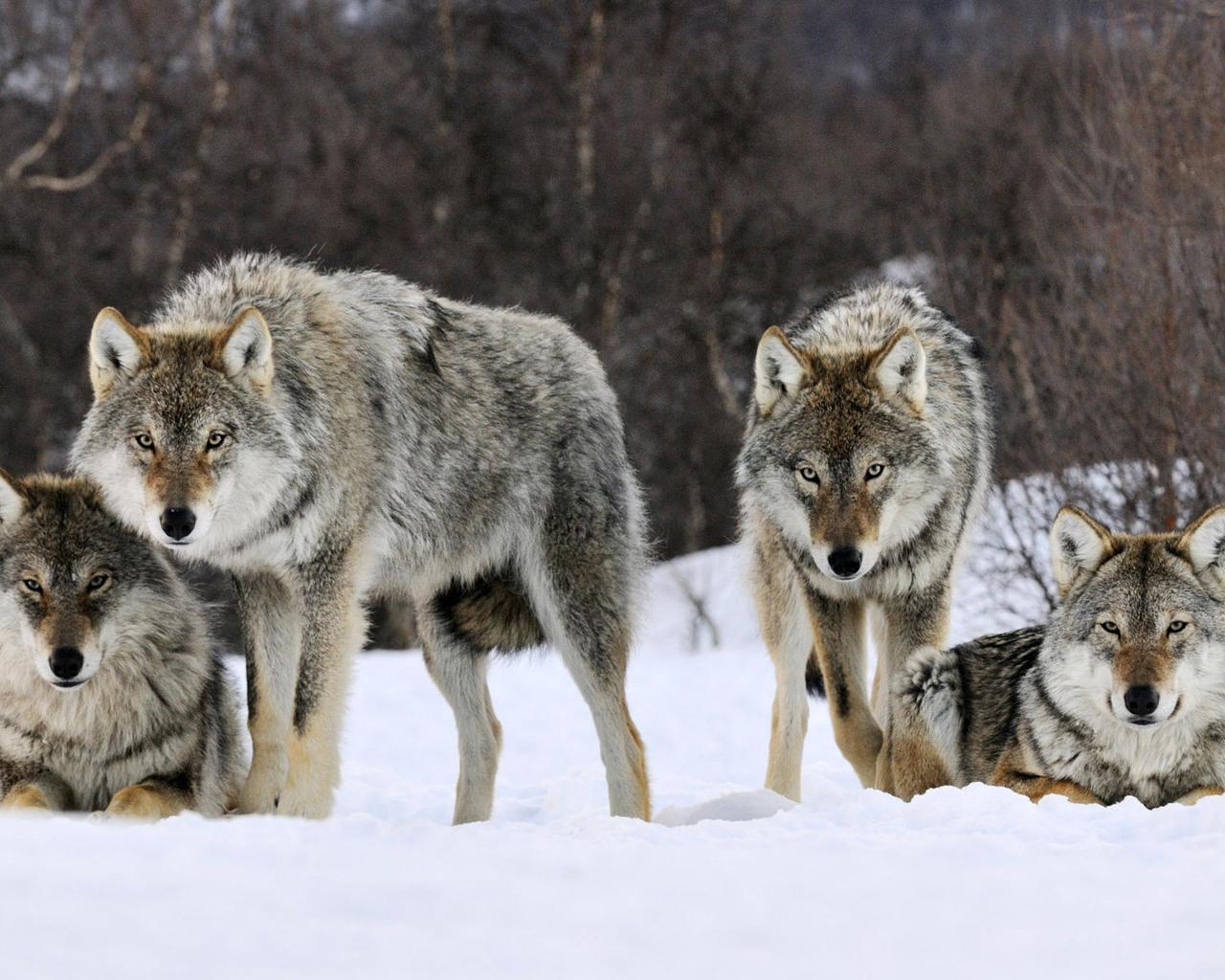 Серые волки обои