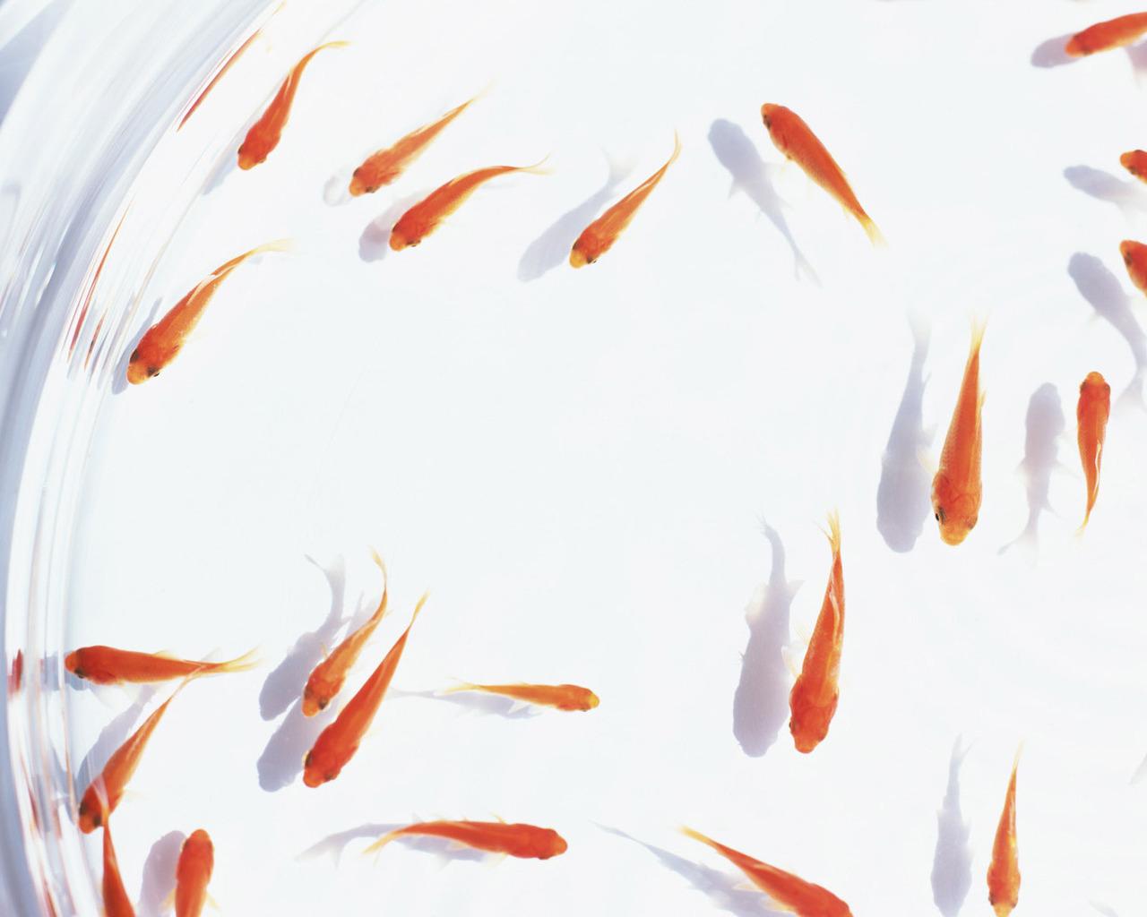 Скачать плавающие рыбки обои для рабочего стола 4