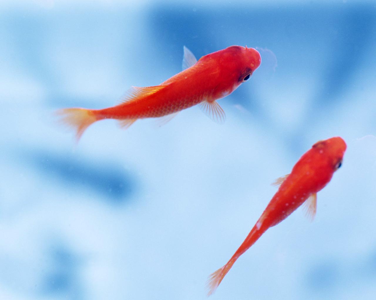 اموزش سبزه گندم تنگ ماهی Gold Fish - Cliparts.co