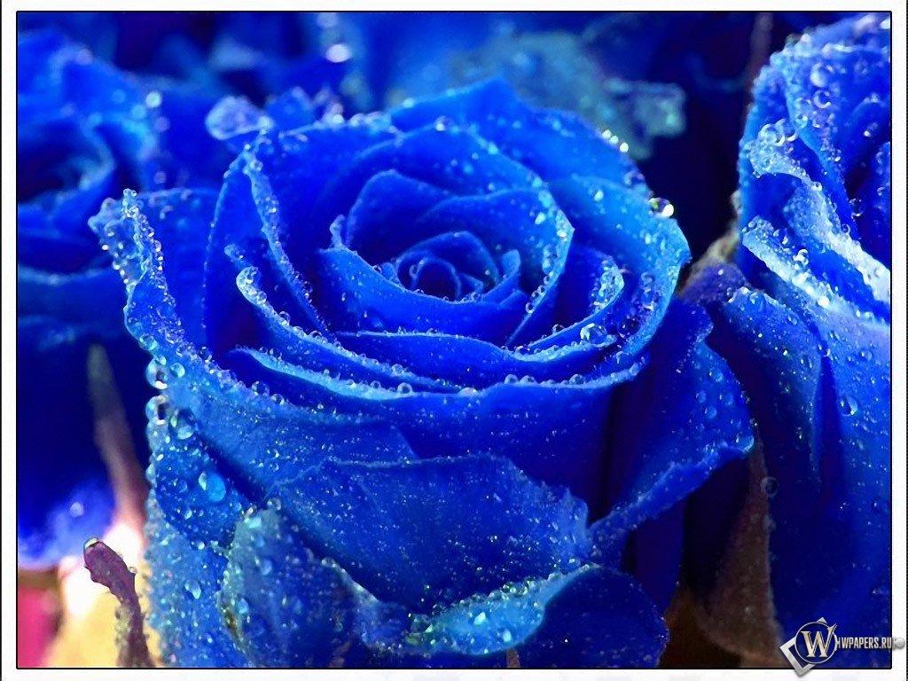Синя троянда картинки та оформлення