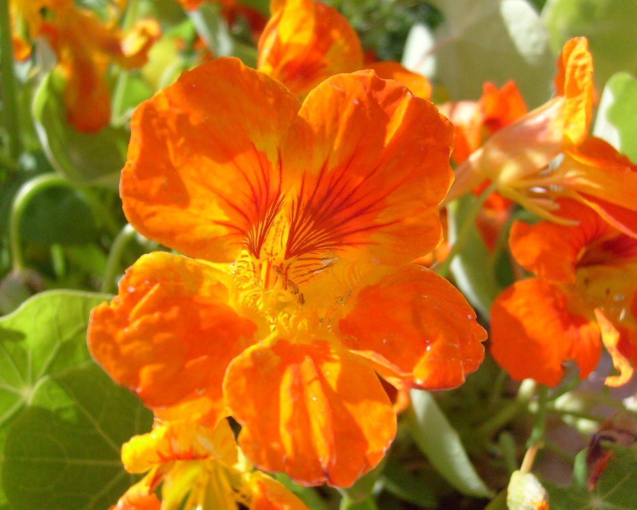 Цветы настурция картинки 6
