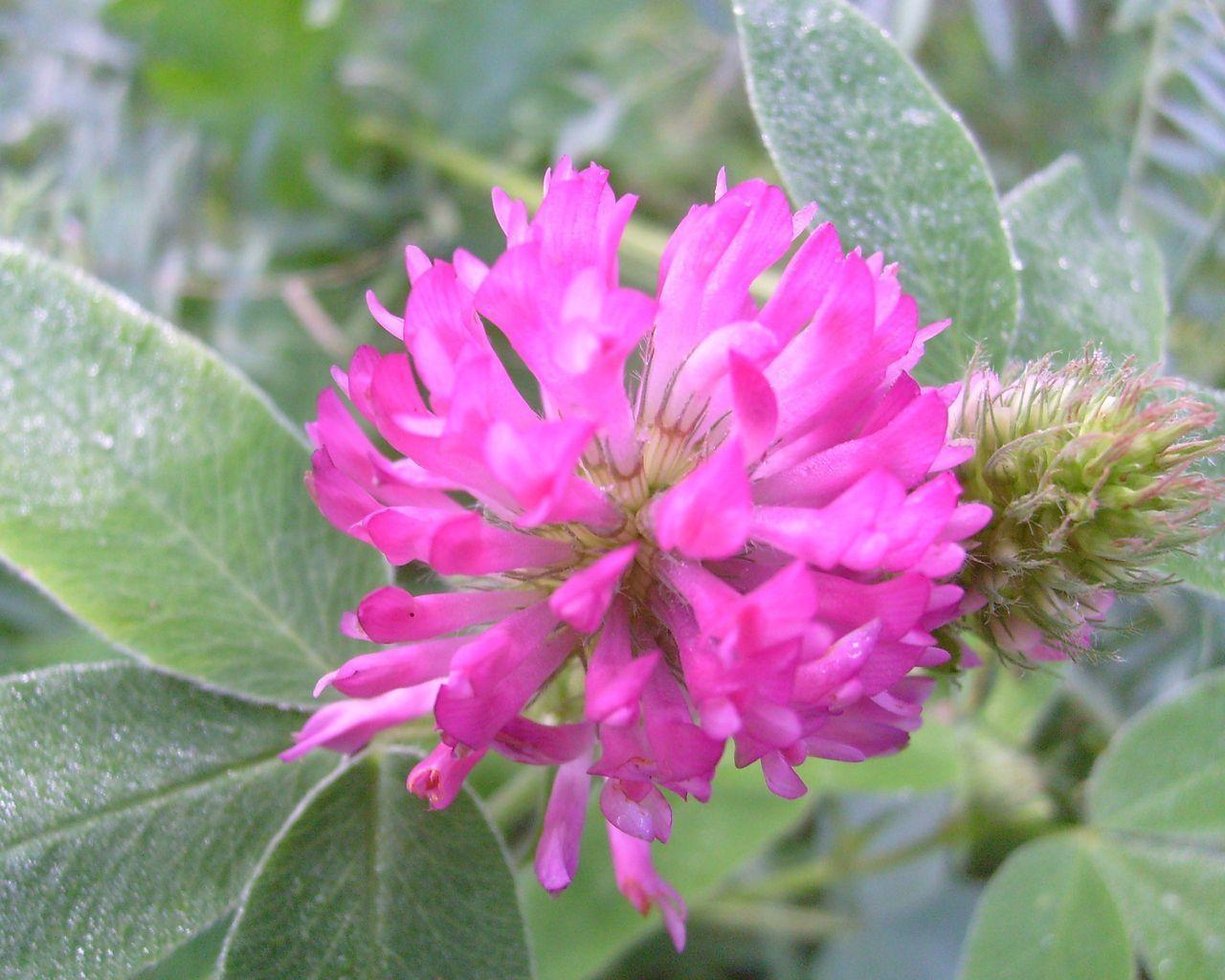 Цветы картинки клевер 4