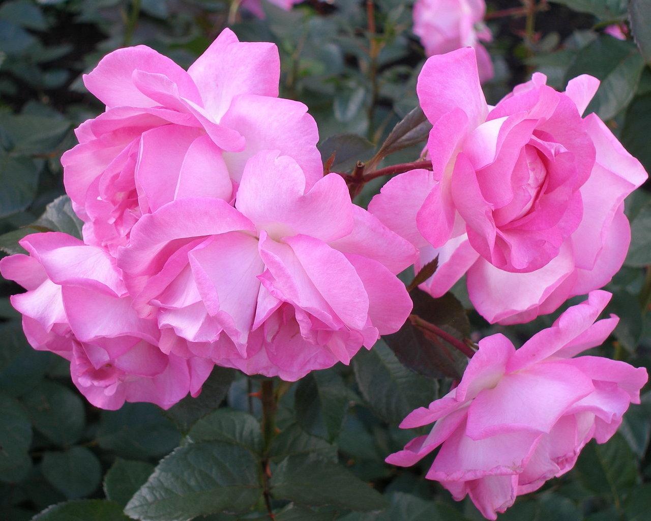 Цветущие розы цветы картинки и обои