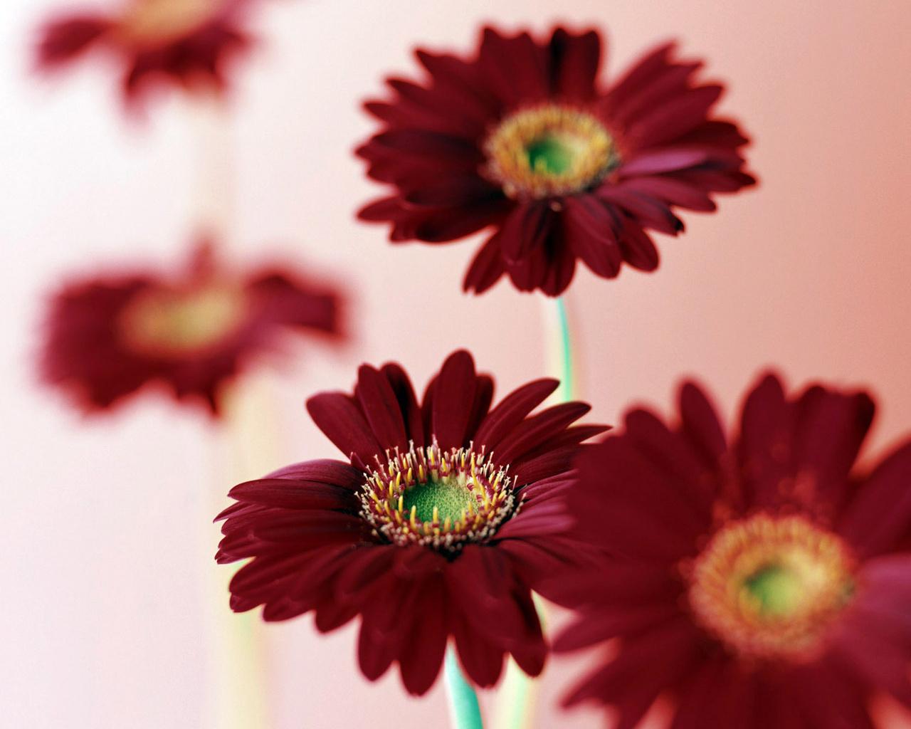Бордовые герберы цветы скачать обои