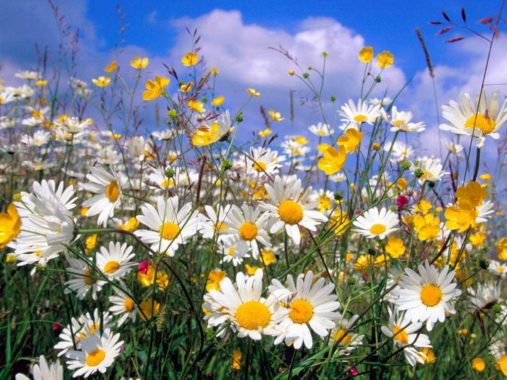Полевые цветы картинки картинки на