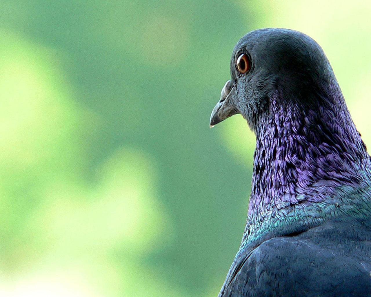 Обои голуби на рабочий стол