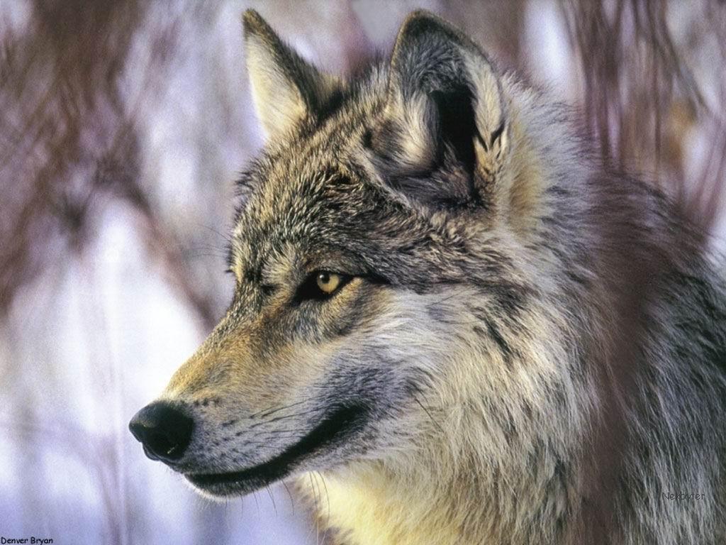 Волки картинки и широкоформатные обои