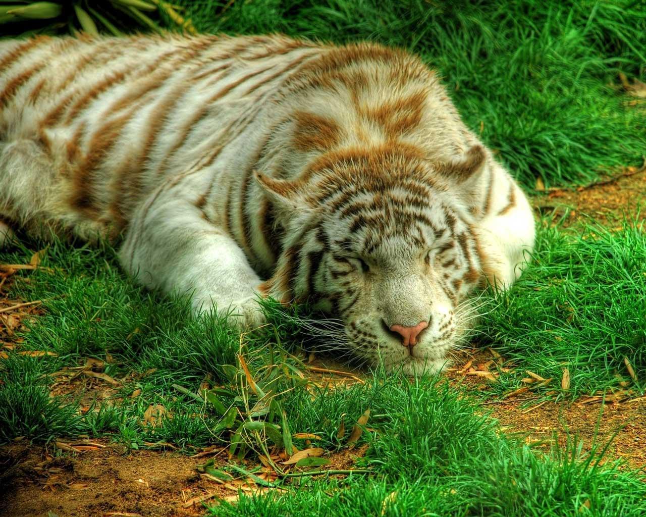 Картинка персидский тигр на компьютер, картинки и новые обои.: http://famajor.ru/kartinka_persidskiij_tigr_kompjuter-7183.php