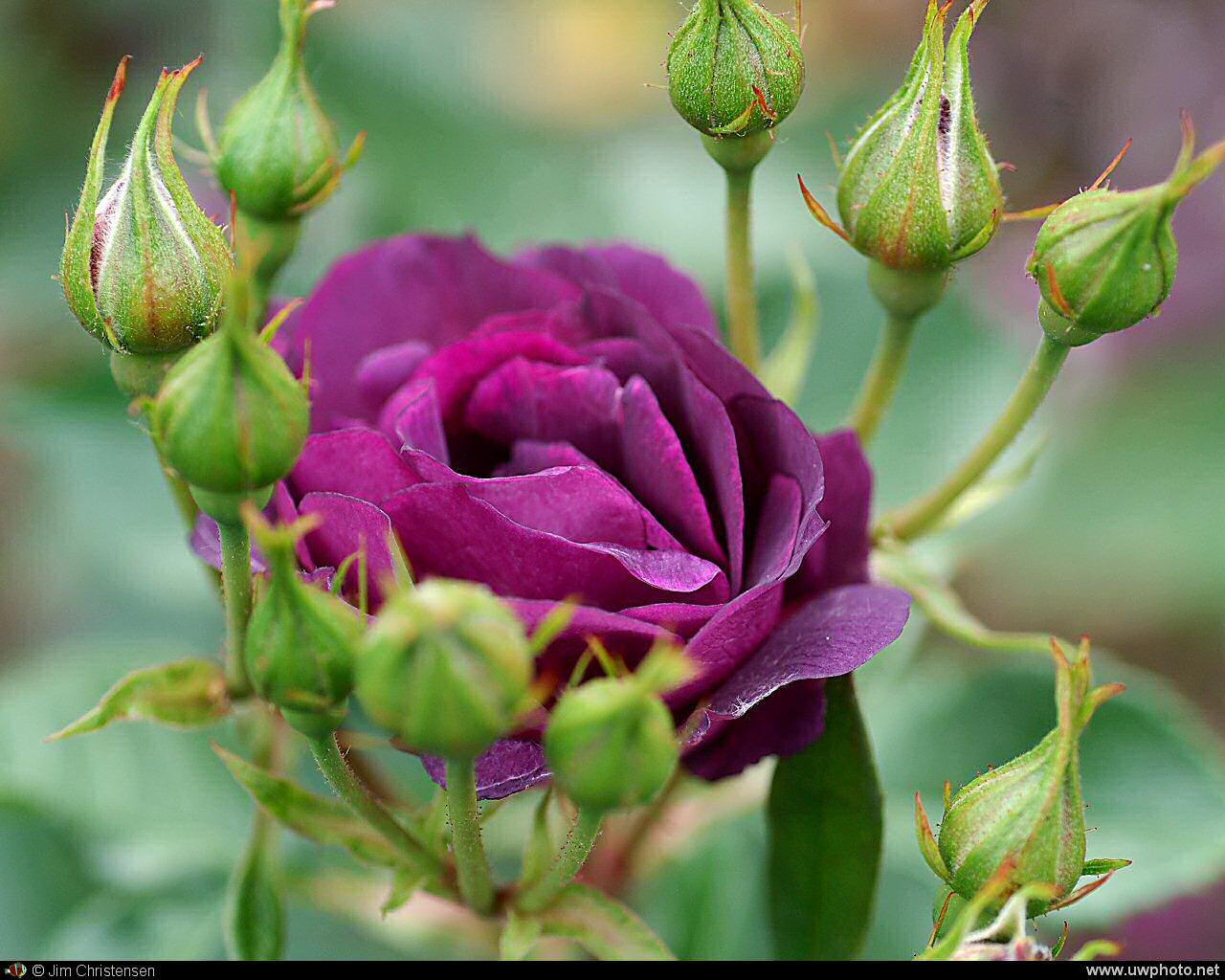 Картинка,  Фіолетова троянда картинки і шпалери безкоштовно «