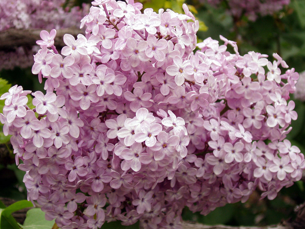 Картинки цветы сирень 4