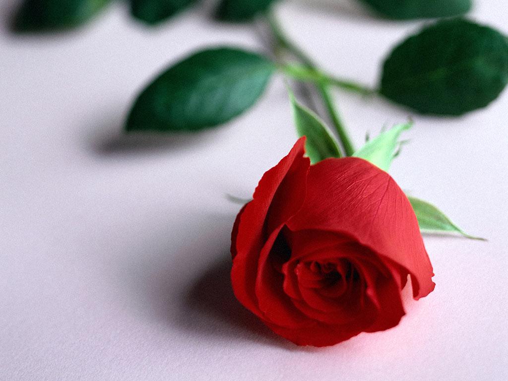 Кровавая роза обои