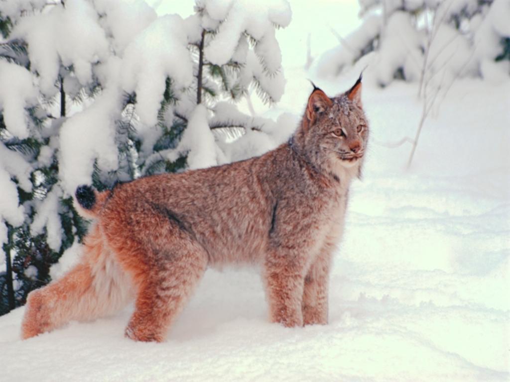 The contents of 18 рудий кіт у лісі картинки і